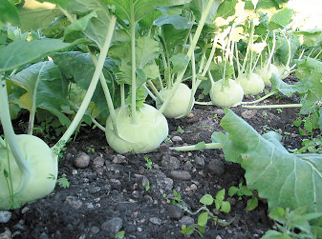Kohlrabi What Is This Spaceship The Farm At St Joe S Ann Arbor